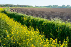 Curved ridges of clay and yellow blossoming rapeseed in springti Stock Image