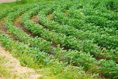 Curved rows of green soybean crops growing Stock Image