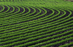 Curved Rows Of Young Soybean Stock Photography