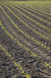Curved Rows of Spring Corn. Curved rows of freshly planted spring corn growing in a ploughed field stock photos
