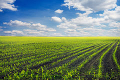 Curved Rows of Spring Corn Stock Image
