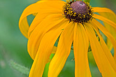 Curved Rudbeckia hirta Stock Photography