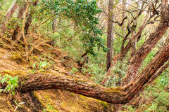 Curved tree in a hill forest Stock Photography