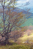 Curved tree in mountains Stock Images