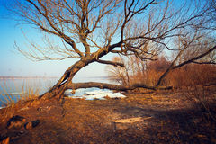 Curved tree near the river with melting ice Royalty Free Stock Images