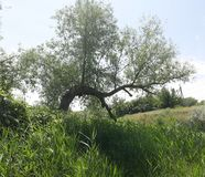 Curved tree on a spring meadow stock photography