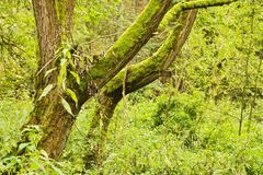 Curved tree trunks. Covered with moss surrounded by greenery Stock Image