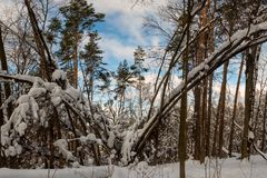 Curved trees covered by snow. View of curved trees covered by snow stock photography