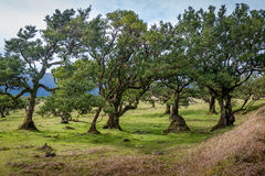 Curved trees of Fanal forest national park at Madeira island west Royalty Free Stock Photo