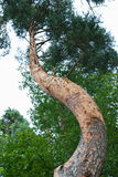 Curved trunk Royalty Free Stock Image