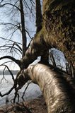 Curved Trunk in the Broceliande Forest Royalty Free Stock Image
