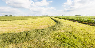 Curved windrow of harvested grass Stock Photos