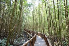 A curved wooden bridge into the mangrove forest with sun light royalty free stock image