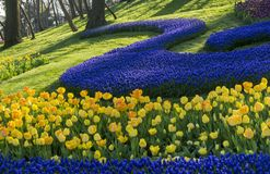 Curves of blue flowers. Blue flowers trimmed to form curves in Istanbul Tulip Festival at Emirgan park Stock Photos
