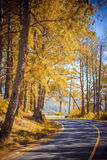 Curves mountainous road in golden pine fores Royalty Free Stock Photo