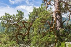 Curves pine branches on the background of mountains and sky , Altai, Russia stock photo