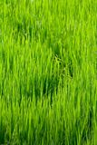 Curves in rice fields Stock Image