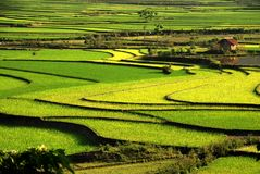 Curves of terrace rice field in the mountain Stock Image