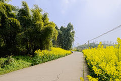 Curving countryroad in flowering rape fields at spring noon Royalty Free Stock Images