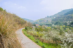Curving countryroad on mountainside ablaze with pear blossom and. Curving countryroad on the mountainside ablaze with pear blossom and rape flowers in sunny Royalty Free Stock Photos