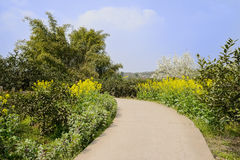 Curving countryroad in rape flowers on sunny day Royalty Free Stock Photo