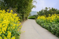 Curving countryroad in rape flowers and verdant plants on sunny Stock Images