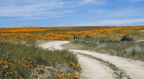 Curving Dirt Road Leads Through Bright Orange Poppy Field under Blue Sky royalty free stock photos