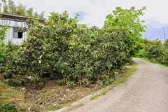 Curving mountainside countryroad before farmhouse in fruit trees Royalty Free Stock Photography