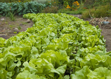 Curving Narrow Row of Lettuce Plants Stock Images