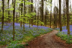 Curving path. Curved path in a bluebell forest in springtime (Hallerbos woods in Belgium Stock Image