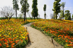 Curving path in hillside field of flowering corn poppies on sunn Royalty Free Stock Photo
