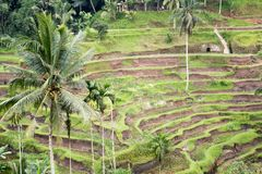 Curving Terraced rice fields in Tropical Setting Royalty Free Stock Photo