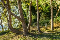 Curving Trees Scene. A group of curving trees grow at a lookout spot in Des Moines, washington royalty free stock photos