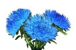 Curvy der Nadel cyan-blaue Astern leicht Lizenzfreie Stockfotografie