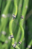 Curvy horsetail plant Stock Photos