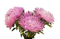 Curvy needle gently pink asters Stock Photos