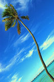 Curvy palm. Curving lone palm against bright blue sky and clouds Royalty Free Stock Image