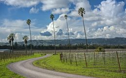 Curvy Road through Palm Trees and California Vineyard. A Palm Tree Lined Road Winds and Wanders through Grape Vines and Green Grass on a Sunny Afternoon in Stock Photography