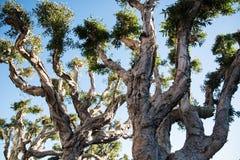 Curvy tree branches Royalty Free Stock Photos