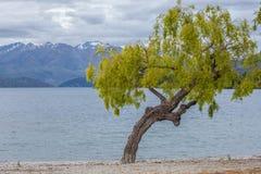 Curvy tree on Lake Wanaks shore, South Island, New Zealand Royalty Free Stock Photo