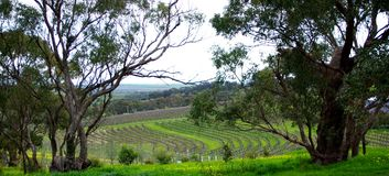 Curvy Vineyard & Eucalypts Royalty Free Stock Photography
