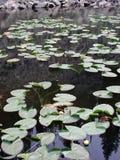 Yellowstone Lily Pads Fotografie Stock