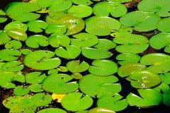 Cuscinetti di Lilly sull'acqua Immagini Stock