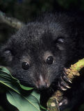 Cuscus. The silky cuscus, Phalanger sericeus, is a rare mountain marsupial from Papua New Guinea Stock Image