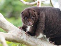 Cuscus de la montaña en un árbol de la guayaba Foto de archivo