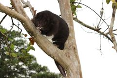 Cuscus de montagne dans un arbre de goyave photographie stock libre de droits