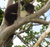 Cuscus femelle de montagne photo stock