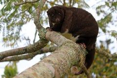 Cuscus femminile in pieno sviluppato della montagna fotografia stock libera da diritti