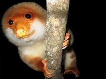 Cuscus manchado Fotos de archivo libres de regalías