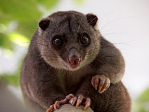 Cuscus moulu Photo libre de droits